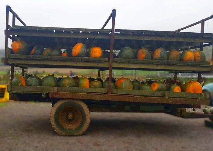 halloweenPumkinPicking
