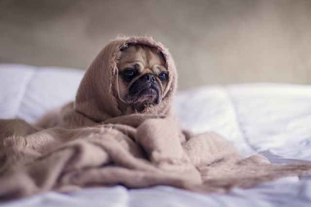 close up photography of fawn pug covered with brown cloth