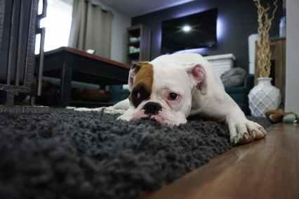 white and tan english bulldog lying on black rug