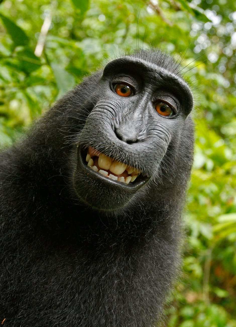 black chimpanzee smiling
