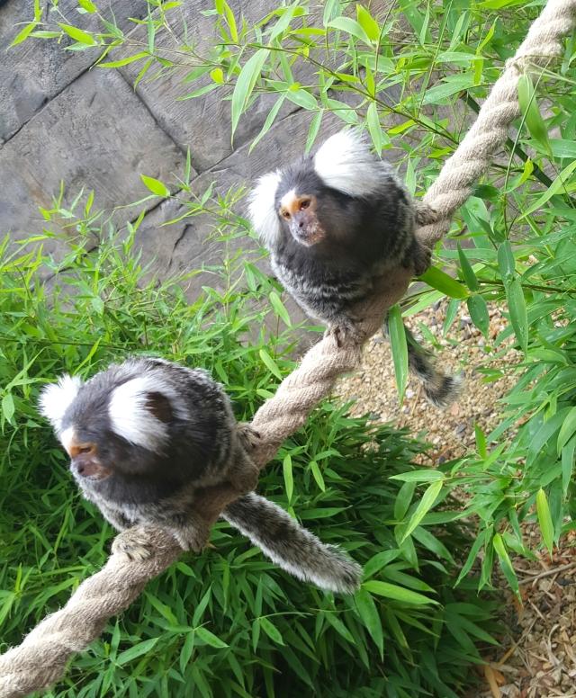 common marmoset longleat