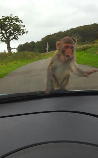 longleat safari monkey