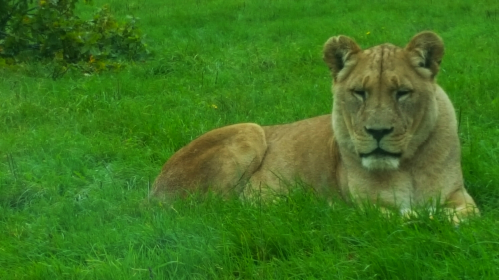 longleat lioness