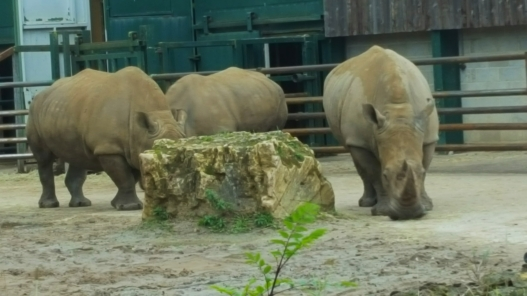 longleat rhino